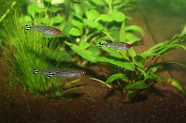 čtyři rybičky