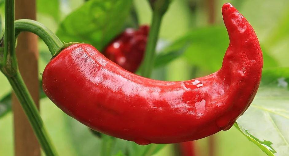 rostoucí paprika